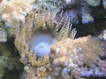 κοράλλι κίτρινο Στοκ Εικόνες