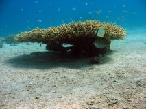 κοράλλι κλάδων Στοκ εικόνα με δικαίωμα ελεύθερης χρήσης