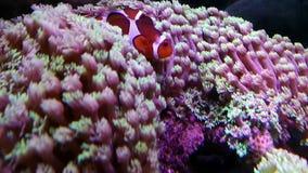 Κοράλλι κομψότητας στο ενυδρείο απόθεμα βίντεο