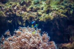 κοράλλι Κοραλλιογενής ύφαλος ωκεανός Θάλασσα Θαλάσσιο ζώο pets Ψάρια Fishs στοκ φωτογραφίες με δικαίωμα ελεύθερης χρήσης
