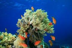 κοράλλι μαλακό Στοκ φωτογραφία με δικαίωμα ελεύθερης χρήσης