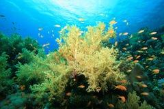 κοράλλι μαλακό Στοκ Φωτογραφία