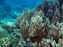 κοράλλι μαλακό Στοκ εικόνα με δικαίωμα ελεύθερης χρήσης
