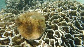 Κοράλλι μανιταριών σε Heliopora απόθεμα βίντεο