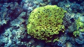 Κοράλλι σαλάτας στην κοραλλιογενή ύφαλο της Ερυθράς Θάλασσας Στοκ εικόνες με δικαίωμα ελεύθερης χρήσης
