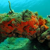 κοράλλι σκούρο παρτοκα&l Στοκ Φωτογραφίες