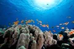 κοράλλι ωκεάνιο Ομάν anthias Στοκ Φωτογραφία