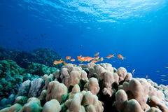 κοράλλι ωκεάνιο Ομάν anthias Στοκ εικόνες με δικαίωμα ελεύθερης χρήσης