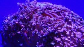 κοράλλι απόθεμα βίντεο