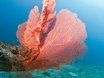 κοράλλι Στοκ εικόνες με δικαίωμα ελεύθερης χρήσης