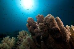 Κοράλλι Anemone και τροπική υποβρύχια ζωή. Στοκ Εικόνα