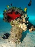 Κοράλλι Anemone με το anemone Στοκ Εικόνες