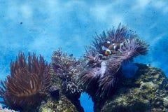 Κοράλλι, anemone ‹â€ ‹και Clownfish θάλασσας †Στοκ εικόνα με δικαίωμα ελεύθερης χρήσης