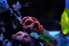 Κοράλλι Blastomussa lps στη δεξαμενή ενυδρείων σκοπέλων Στοκ Φωτογραφίες
