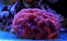 Κοράλλι Blastomussa lps στη δεξαμενή ενυδρείων σκοπέλων Στοκ εικόνα με δικαίωμα ελεύθερης χρήσης