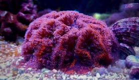 Κοράλλι Blastomussa lps στη δεξαμενή ενυδρείων σκοπέλων Στοκ φωτογραφίες με δικαίωμα ελεύθερης χρήσης