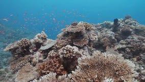 Κοράλλι cropout στο νησί Layang-layang φιλμ μικρού μήκους