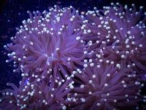 Κοράλλι Frogspawn στο ενυδρείο Στοκ εικόνα με δικαίωμα ελεύθερης χρήσης