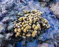 Κοράλλι Koh Bulone, Satun Ταϊλάνδη Στοκ Εικόνες
