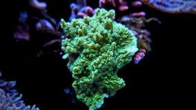 Κοράλλι Turbinaria lps στη δεξαμενή ενυδρείων σκοπέλων Στοκ φωτογραφία με δικαίωμα ελεύθερης χρήσης