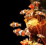 Κοράλλια θάλασσας και ψάρια κλόουν στοκ φωτογραφία