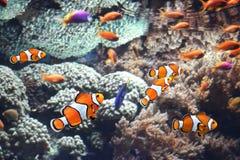 Κοράλλια θάλασσας και ψάρια κλόουν στοκ φωτογραφία με δικαίωμα ελεύθερης χρήσης