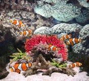 Κοράλλια θάλασσας και ψάρια κλόουν στοκ εικόνα με δικαίωμα ελεύθερης χρήσης