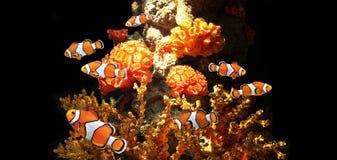 Κοράλλια θάλασσας και ψάρια κλόουν στοκ φωτογραφίες με δικαίωμα ελεύθερης χρήσης