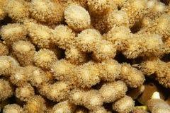 Κοράλλι ή κοράλλι Porites εξογκωμάτων δάχτυλων porites Στοκ εικόνες με δικαίωμα ελεύθερης χρήσης