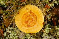 Κοράλλι γαλακτώδης ΚΑΠ Στοκ Εικόνα