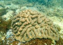Κοράλλι εγκεφάλου στον τροπικό Στοκ εικόνες με δικαίωμα ελεύθερης χρήσης