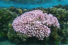 Κοράλλι κουνουπιδιών Pocillopora στα ρηχά νερά Στοκ εικόνα με δικαίωμα ελεύθερης χρήσης