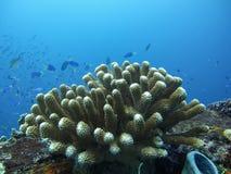 Κοράλλι στη βαθιά μπλε θάλασσα Στοκ Φωτογραφία