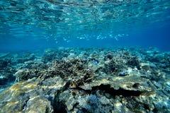 Κοράλλι του κοπαδιού Στοκ φωτογραφία με δικαίωμα ελεύθερης χρήσης