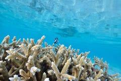 Κοράλλι του κοπαδιού Στοκ Εικόνες