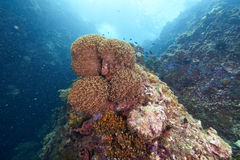 κοράλλι Στοκ φωτογραφίες με δικαίωμα ελεύθερης χρήσης