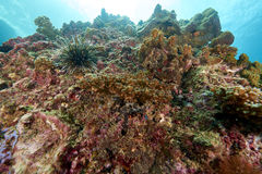 κοράλλι Στοκ Φωτογραφία