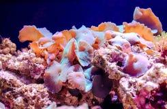 Κοράλλι Discosoma μανιταριών στοκ φωτογραφία με δικαίωμα ελεύθερης χρήσης