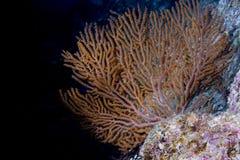 Κοράλλι Gorgonia στο βαθύ μπλε ωκεανό Στοκ Εικόνες