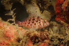 Κοράλλι Hawkfish, νησί Kapalai, Sabah Στοκ Φωτογραφίες