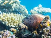 κοράλλι hawkfish στο κοράλλι Στοκ Εικόνες