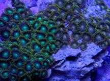 Κοράλλι Zoanthid στοκ εικόνες με δικαίωμα ελεύθερης χρήσης