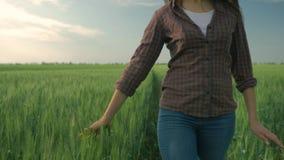 Κορίτσι γεωπόνων που χαϊδεύει τις πράσινες εγκαταστάσεις στο οργανικό αγρόκτημα περπατώντας στον τομέα κριθαριού στο υπόβαθρο του απόθεμα βίντεο