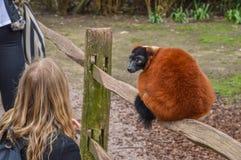 Κορίτσι και κόκκινος κερκοπίθηκος Ruffed στο ζωολογικό κήπο Άμστερνταμ Artis οι Κάτω Χώρες Στοκ φωτογραφία με δικαίωμα ελεύθερης χρήσης