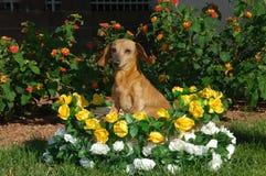 κορίτσι καλαθιών dachshund λίγα Στοκ εικόνες με δικαίωμα ελεύθερης χρήσης