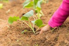 Κορίτσι που φυτεύει το κουνουπίδι στο φρέσκο χώμα ενός κήπου Στοκ Φωτογραφία