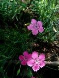 Κορίτσι ρόδινο Dianthus deltoides Στοκ φωτογραφίες με δικαίωμα ελεύθερης χρήσης
