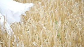 Κορίτσι στο άσπρο φόρεμα στον αέρα, που περπατά μέσω ενός τομέα του σίτου κίνηση αργή απόθεμα βίντεο