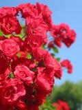 κορίτσι τα κόκκινα τριαντά&p Στοκ Φωτογραφίες