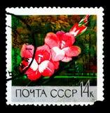 Κορίτσι \ Gladiolus \ «Ural», βοτανικοί κήποι της Μόσχας serie, circa 196 Στοκ Φωτογραφία